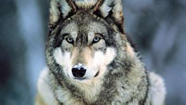 Gunnar Gundersen vil utradere den norske ulvestammen! thumbnail